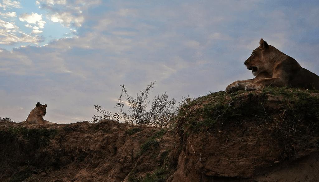 Lions in the South Luangwa, Zambia safari