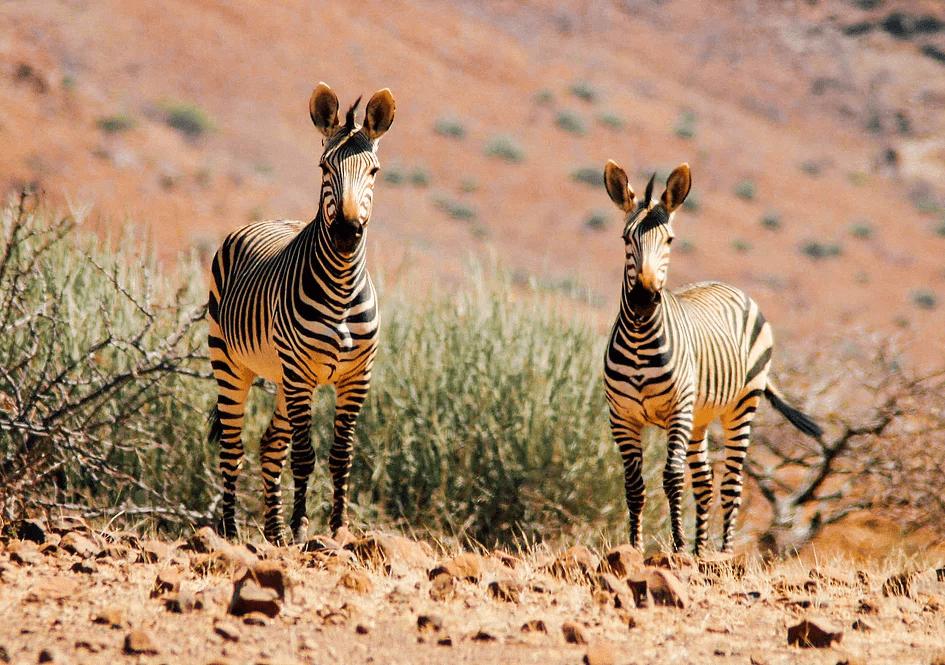 Damaraland, zebra