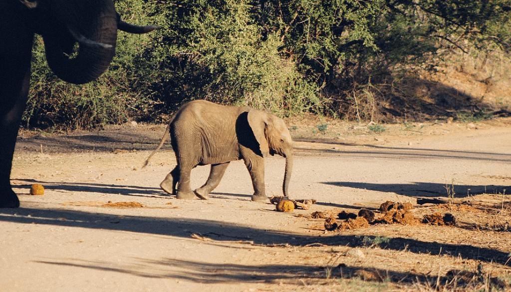 Young elephant, Kruger National Park