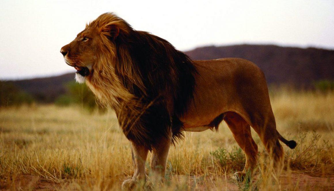 Black maned lion in the Kalahari