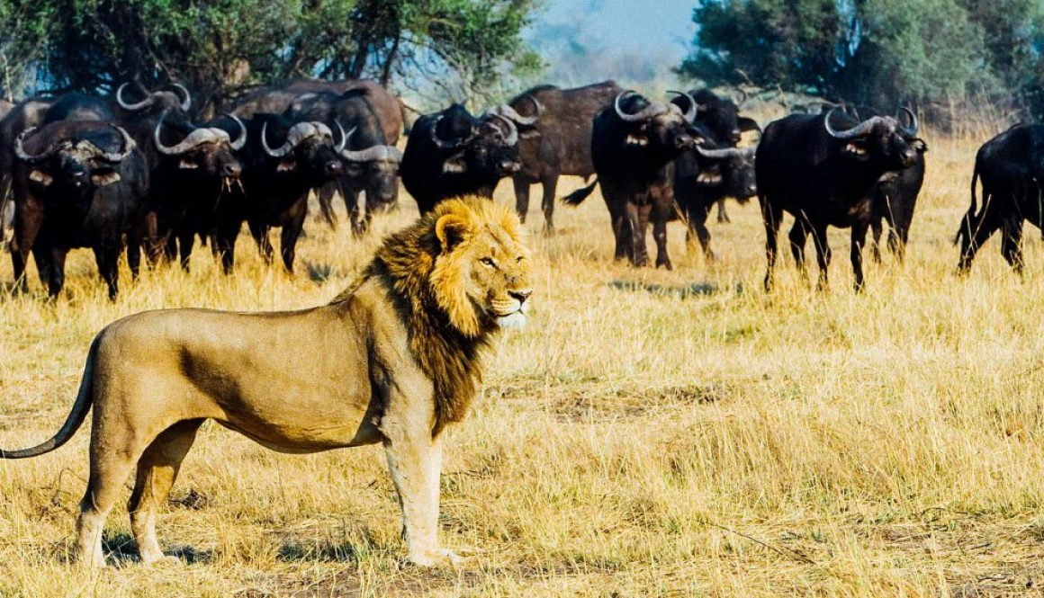 Lion and buffalo, Botswana