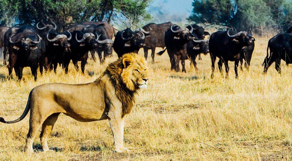 Lion and buffalo, Linyanti, Botswana