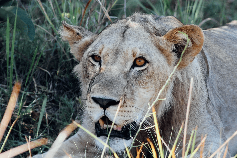 Young male lion in the Okavango Delta