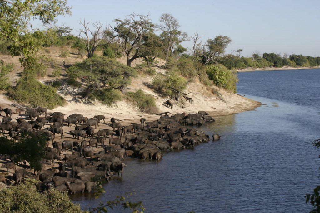 Buffalo herd drinking Chobe river
