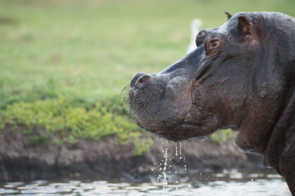 Chobe NP Hippo - Zimbabwe & Botswana Budget Lodge Safari