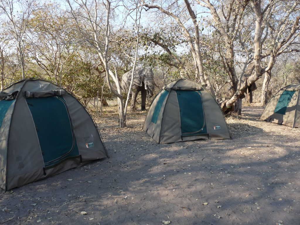 Elephant in Camp - Chobe