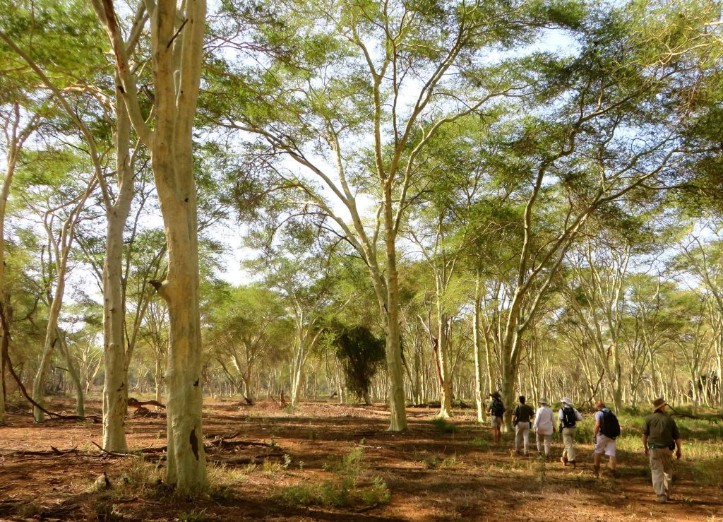 Fever Tree Forest - Pafuri Walking Safari