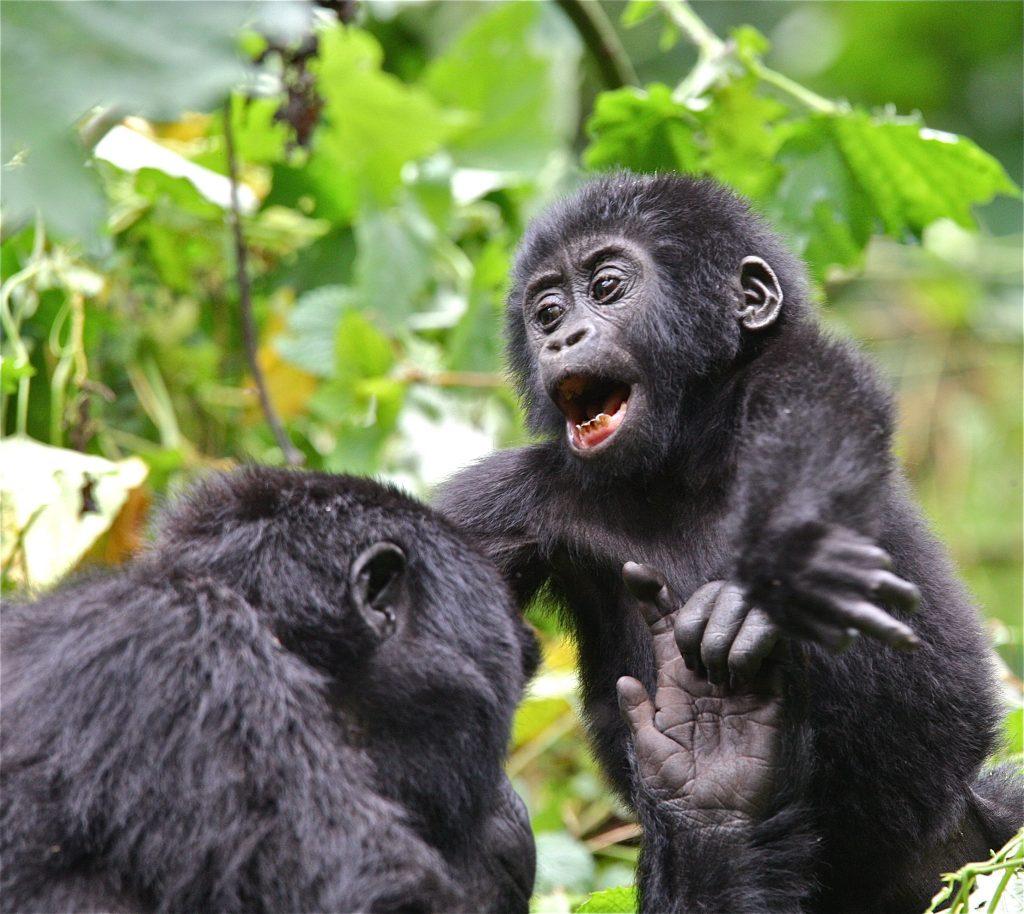 Gorilla Trekking 4