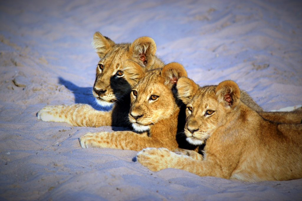 Made in Africa Tours - Botswana Budget Lodge Safari - Moremi lion cubs