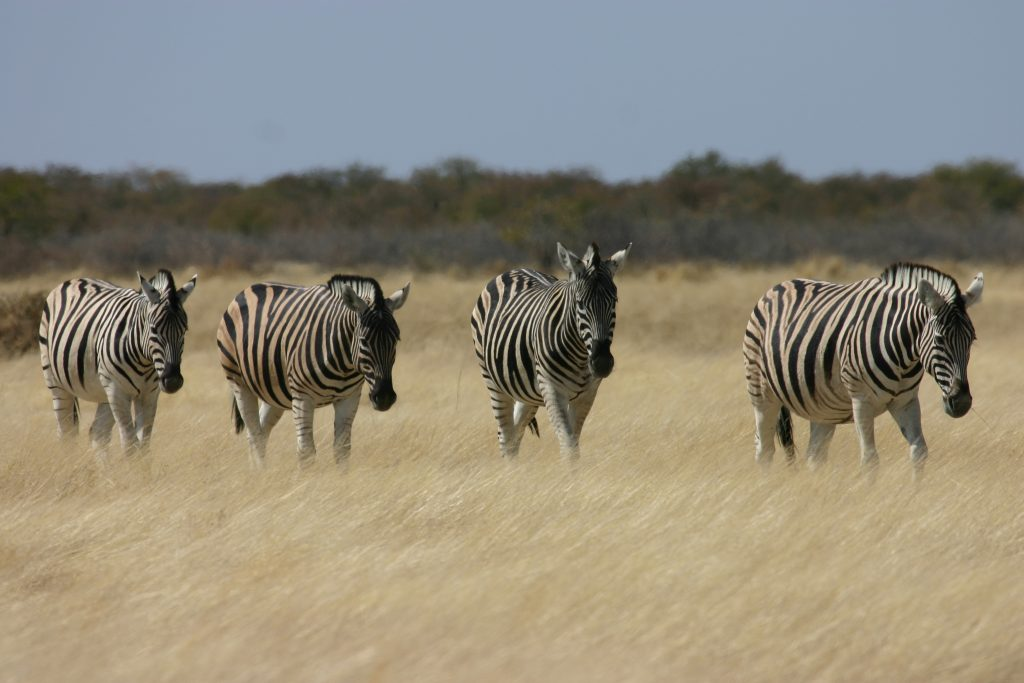 Made in Africa Tours - Botswana Camping Safari - Savuti Zebra