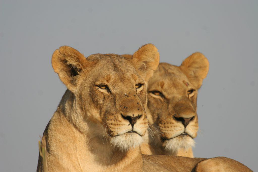 Made in Africa Tours & Safaris - Best of Botswana Lodge Safari - Central Kalahari Game Reserve - Lioness
