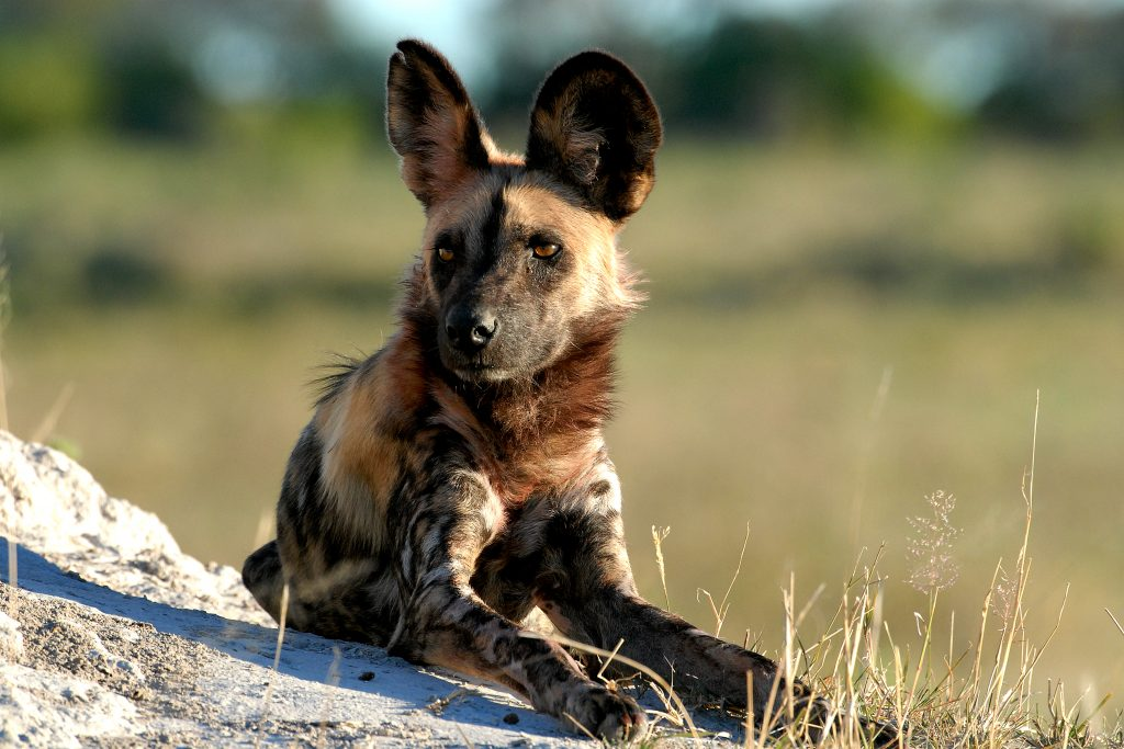 Made in Africa Tours & Safaris - Best of Botswana Lodge Safari - Linyanti Wild Dog