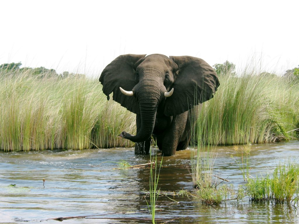 Made in Africa Tours & Safaris - Best of Botswana Lodge Safari - Okavango Delta Elephant