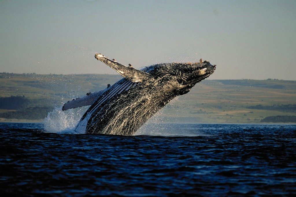 Made in Africa Tours & Safaris - Garden Route Self Drive - Hermanus Whale