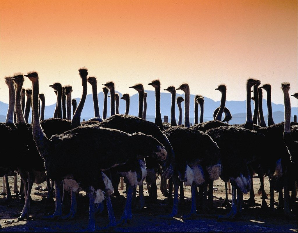 Made in Africa Tours & Safaris - Garden Route Self Drive - Outshoorn Ostrich