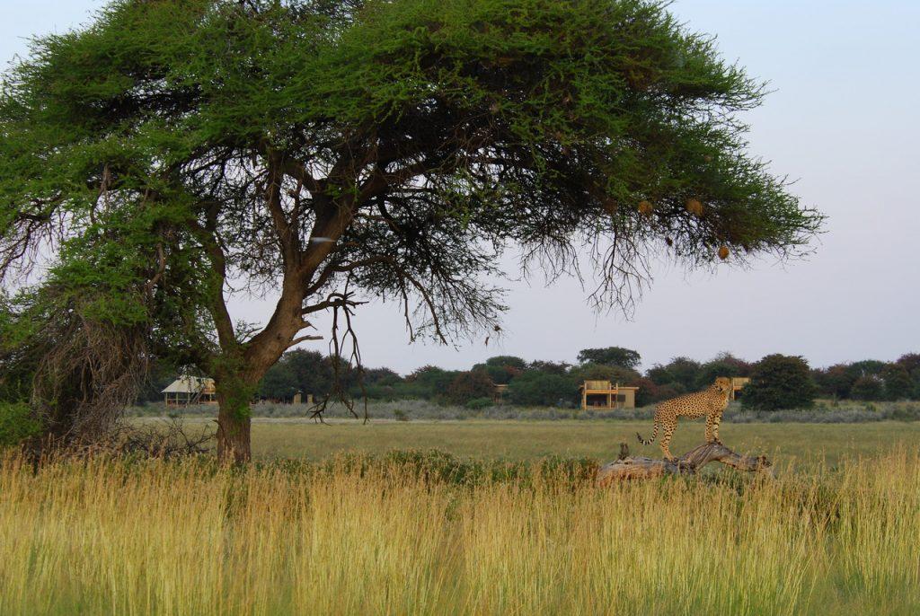 Made in Africa Tours & Safaris - Kalahari Plains Cheetah