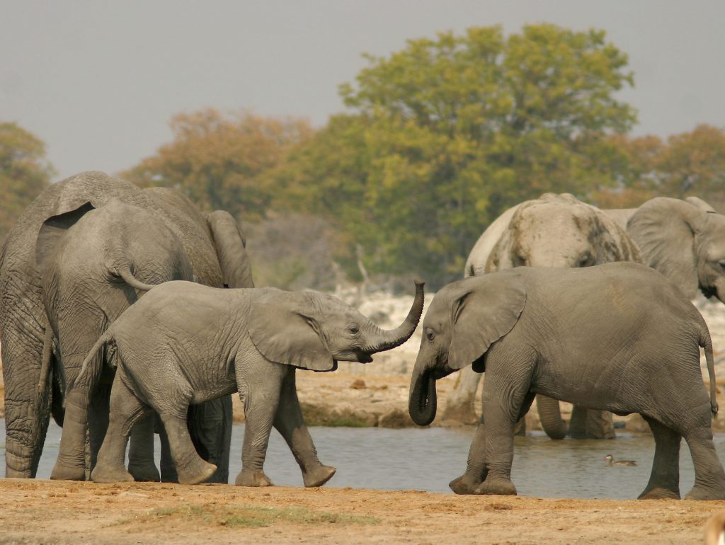 Made in Africa Tours & Safaris - Namibia & Botswana Classic Safari - Etosha Elephants