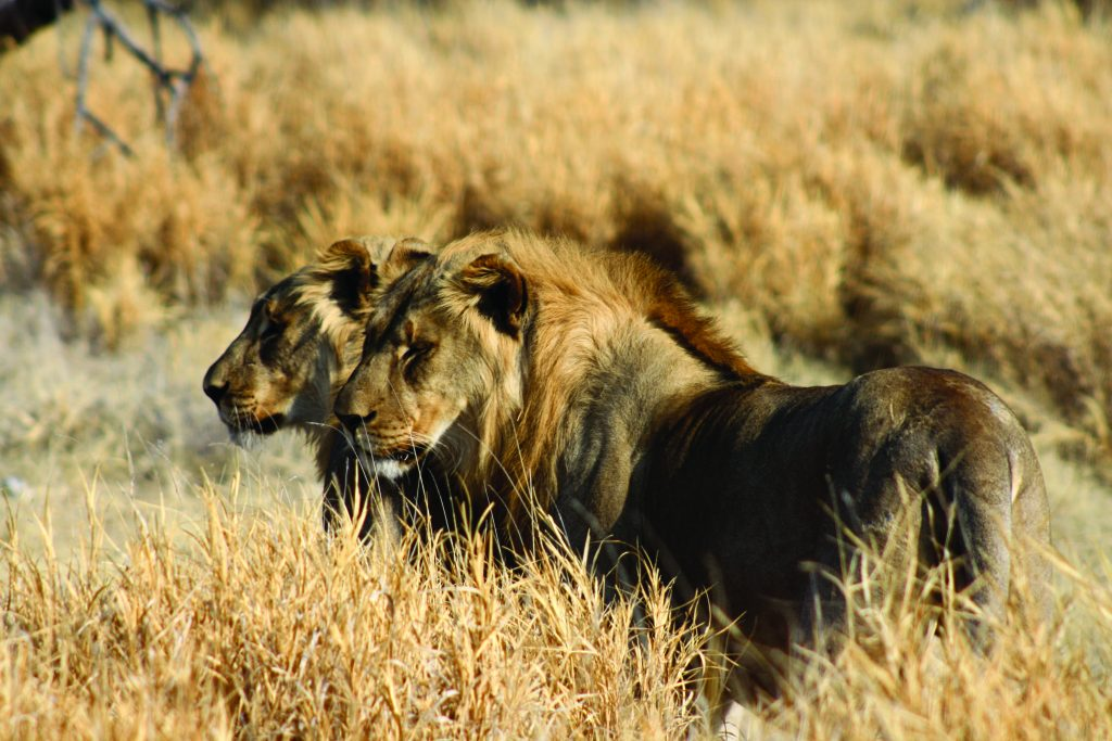 Made in Africa Tours & Safaris - Namibia & Botswana Classic Safari - Etosha Lions