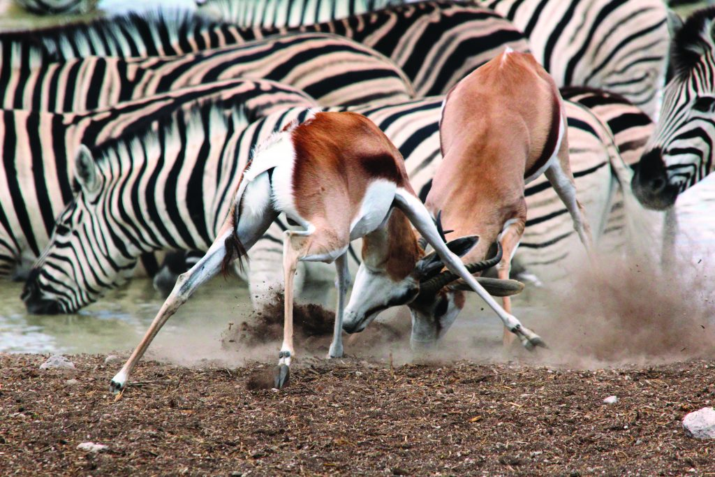 Made in Africa Tours & Safaris - Namibia & Botswana Classic Safari - Springbok at waterhole