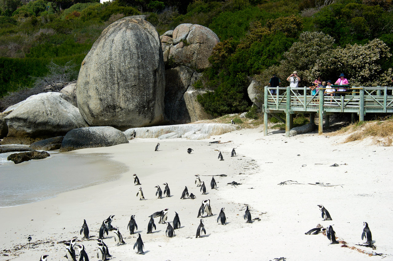 Penguins of boulders beach cape town