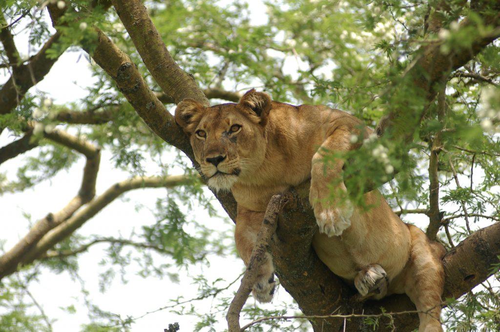 Tree Climbing Lion 5