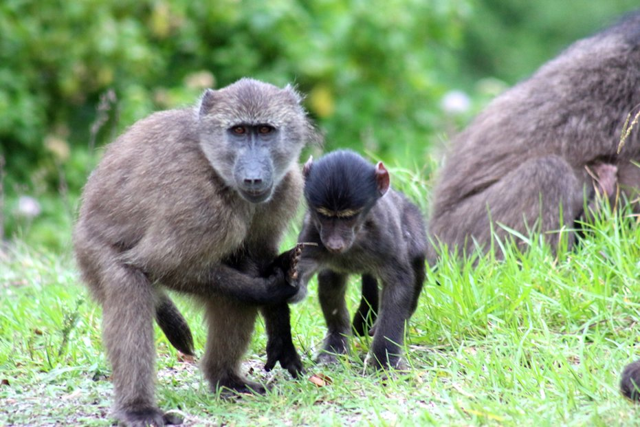 m_Baboons