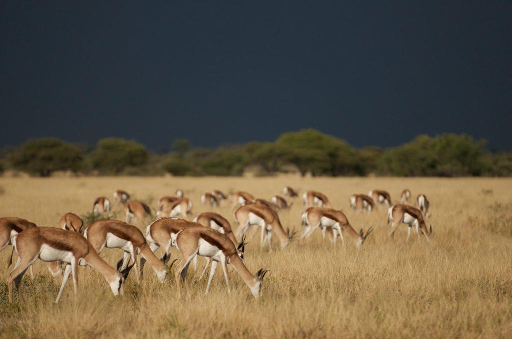 sunway_botswana_central_kalahari_springbok_bruce_taylor_20111025_1593600019