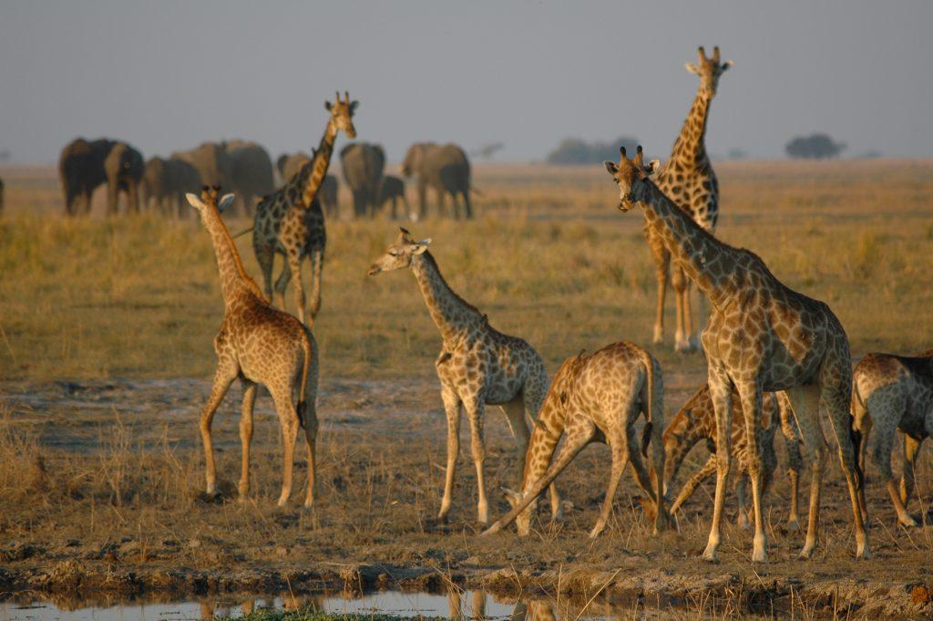 sunway_botswana_chobe_giraffe_herd_bruce_taylor_20111025_1653156065