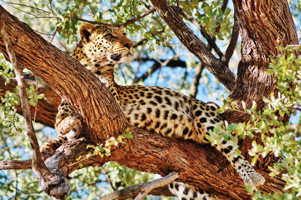 sunway_botswana_moremi_leopard_alexandra_peyer_dsc05203_20141015_1402906679