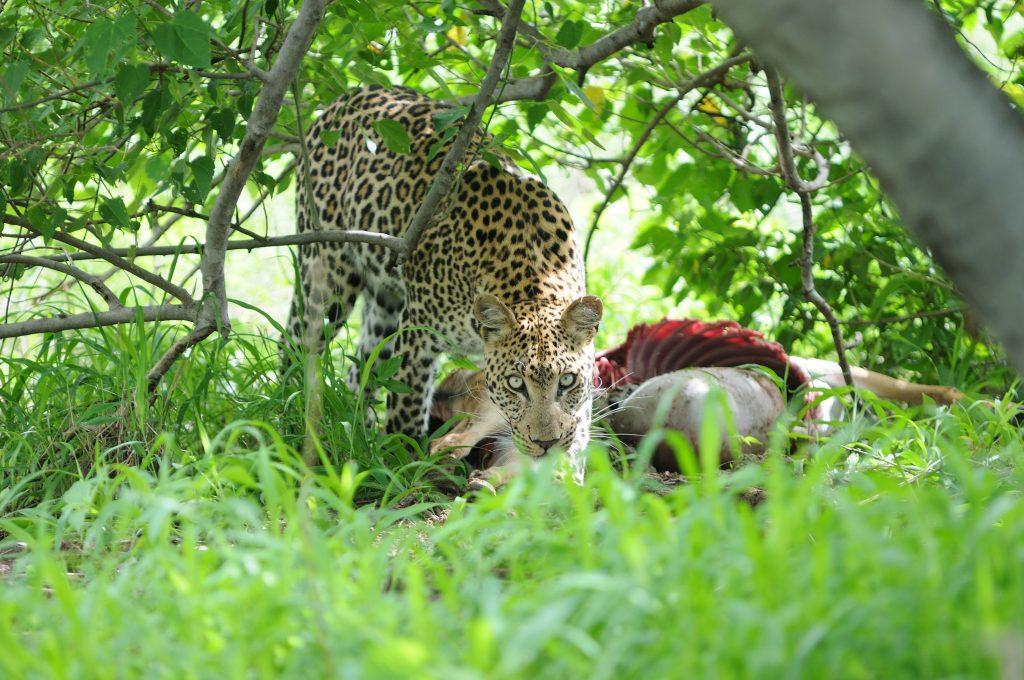 sunway_botswana_moremi_leopard_kill_1_bruce_taylor_20111025_1847208831