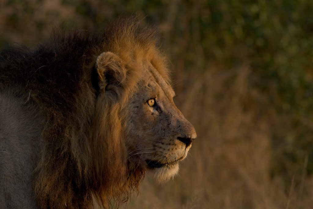 Made in Africa Tours & Safaris - Kruger Lion