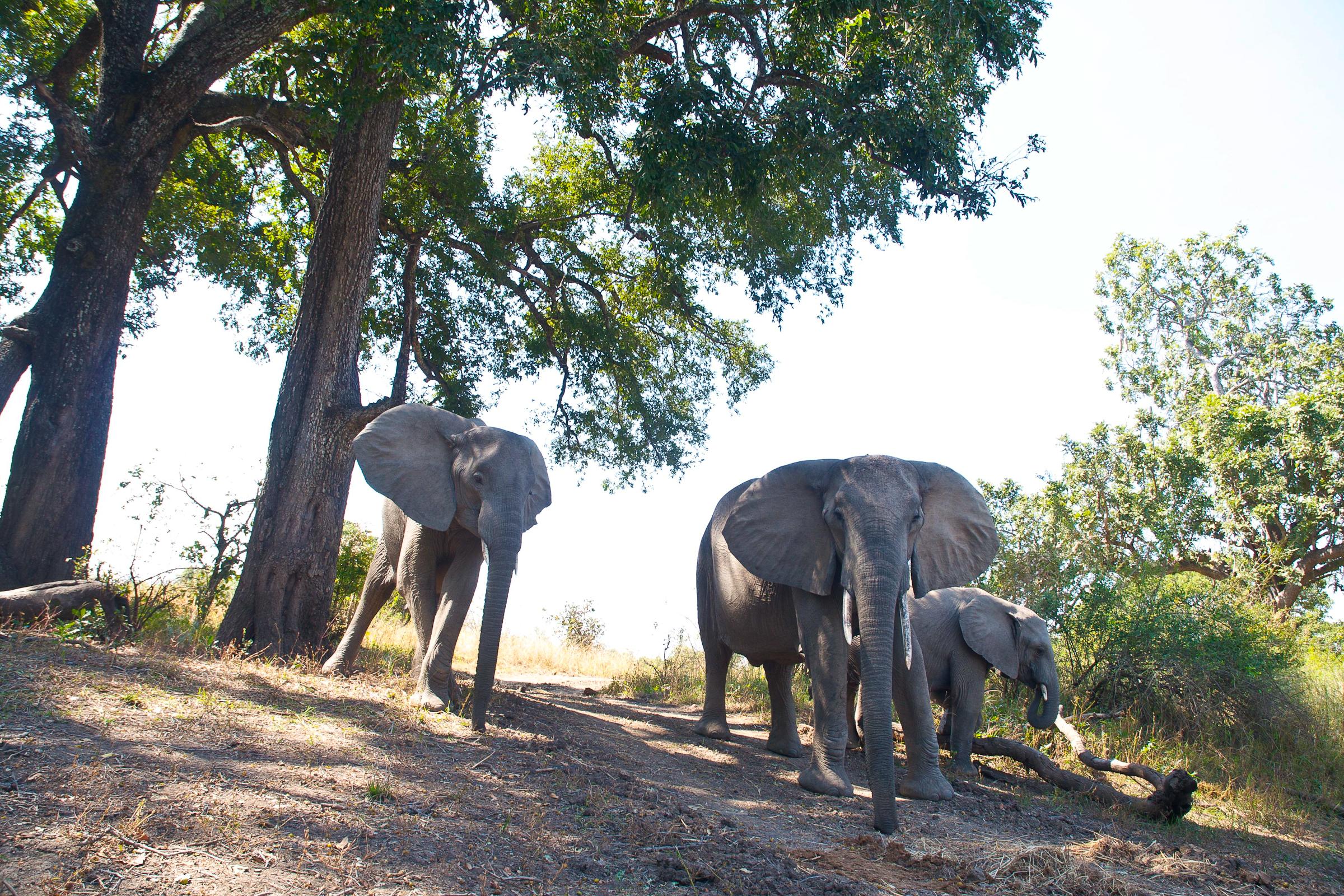 Zambia lodge safari elephant