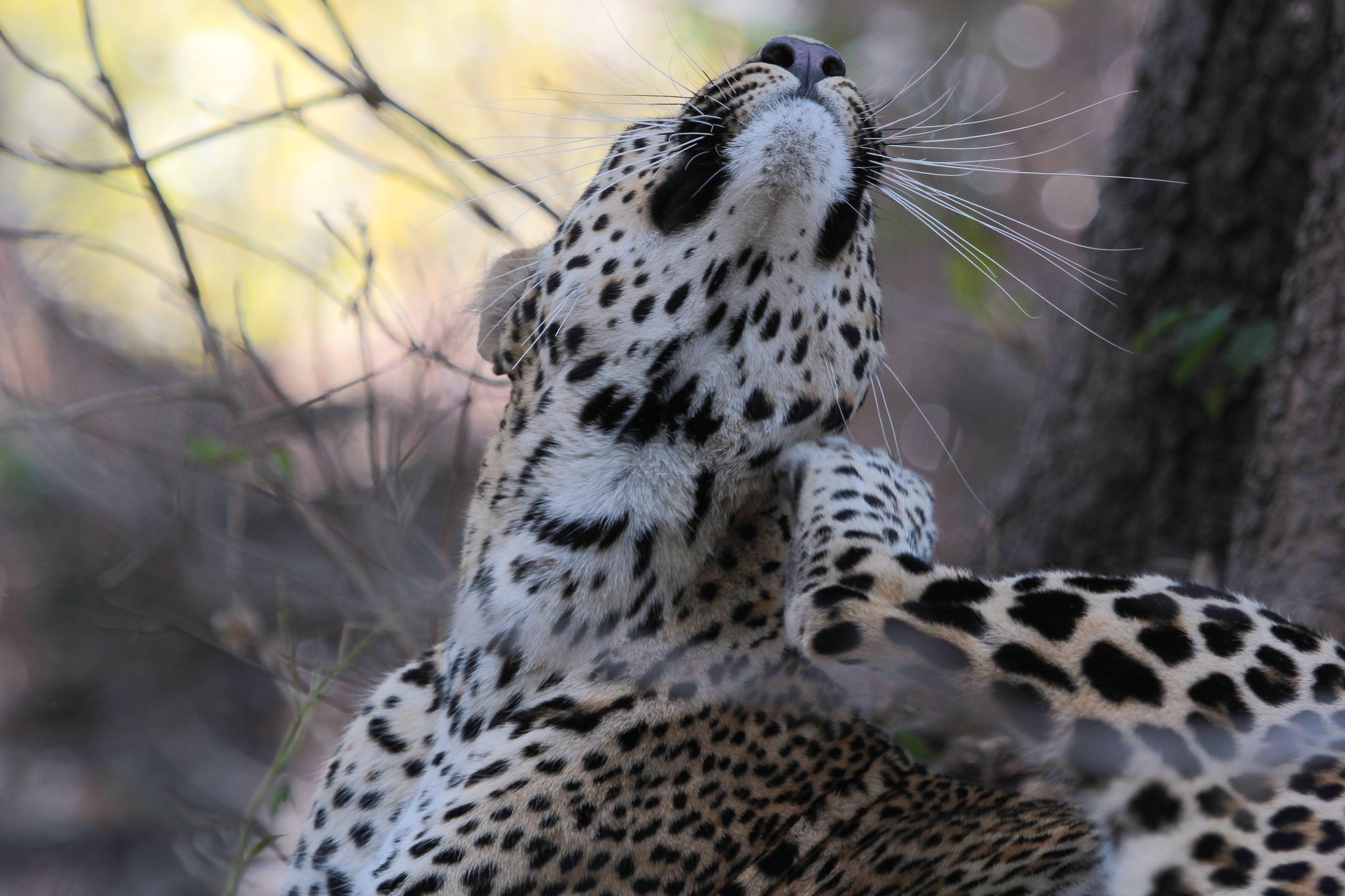 Zambia south luangwa lodge safari leopard