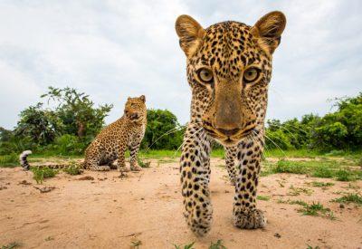 Leopard Zambia South Luangwa safari