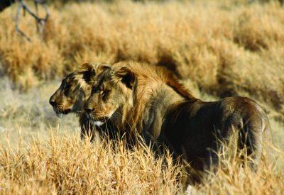 Etosha lion safari
