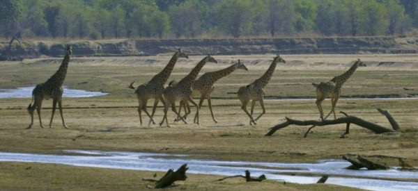 Zambia safari with giraffe