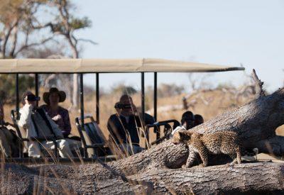 Botswana safari leopard cub