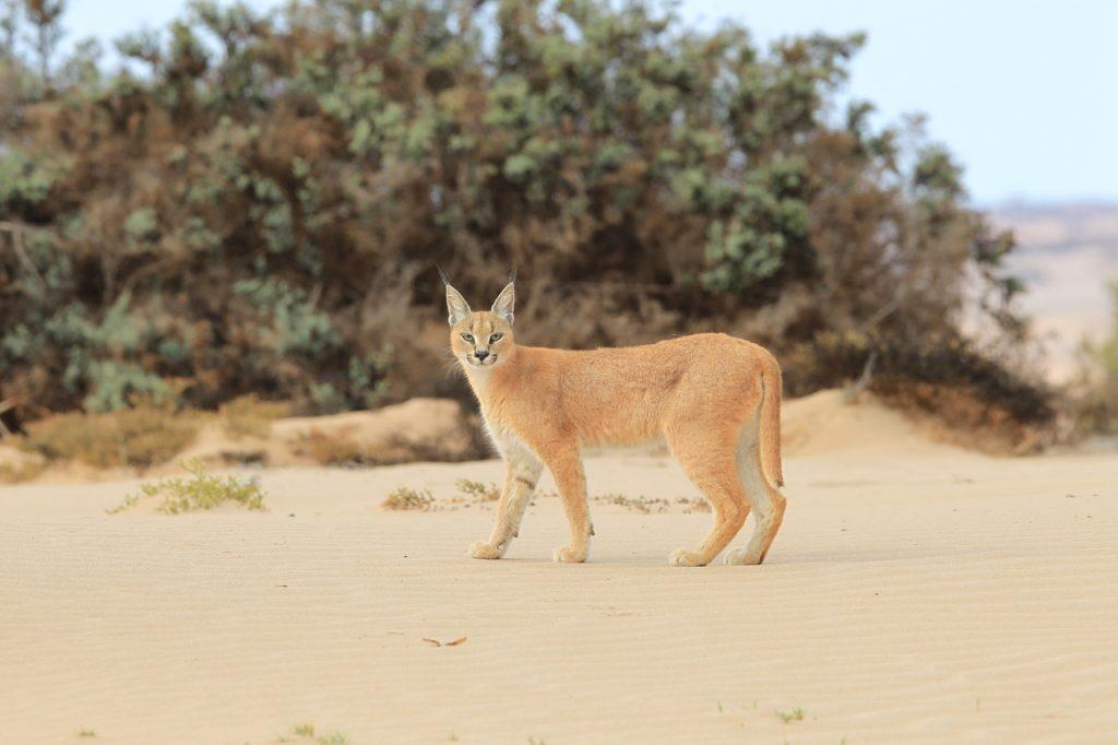 Desert Caracal - Namibia Desert Safari