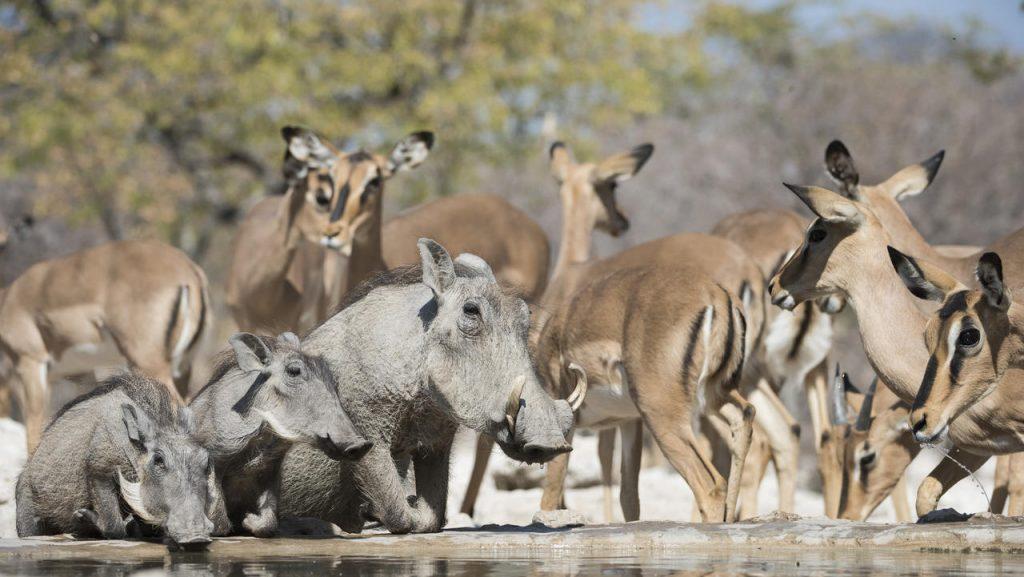 Etosha Warthog - Namibia Exploration