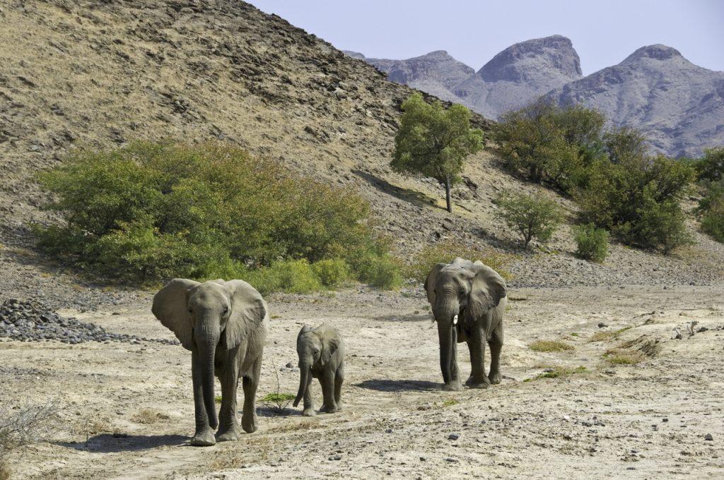 Namibia Desert Elephant - Namibia Desert Safari