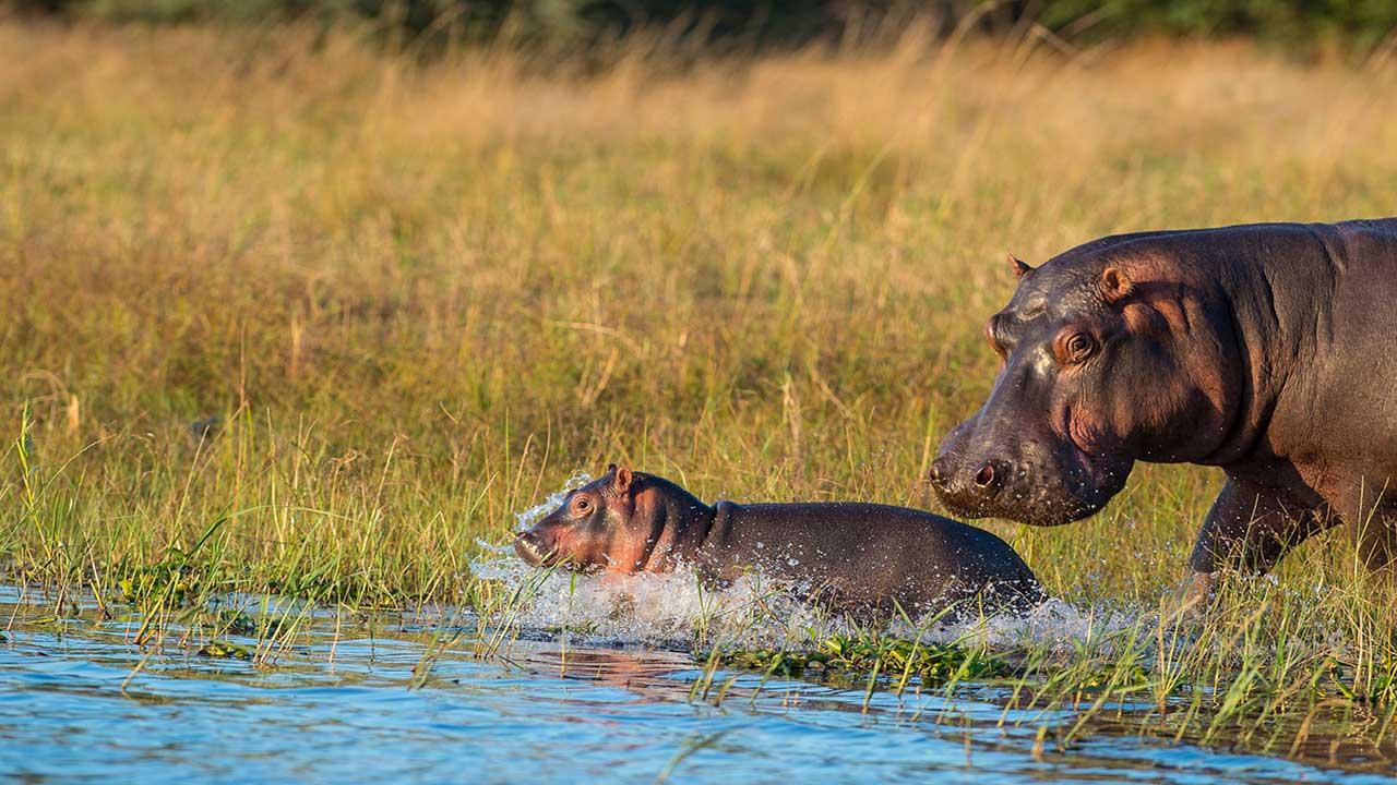 Zambia & Malawi Exploration - Lower Zambezi - Hippo