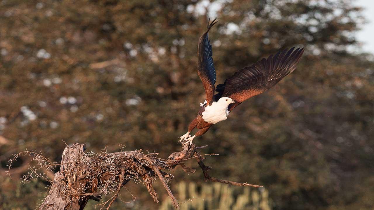 Zambia & Malawi Exploration - Lake Malawi Fish Eagle
