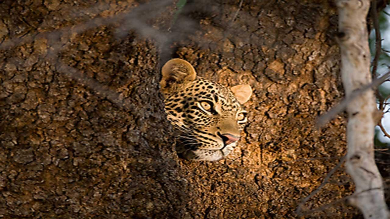 Zambia & Malawi Exploration - South Luangwa Leopard