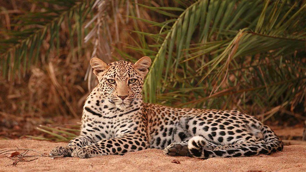 Sabie-Sands-Leopard