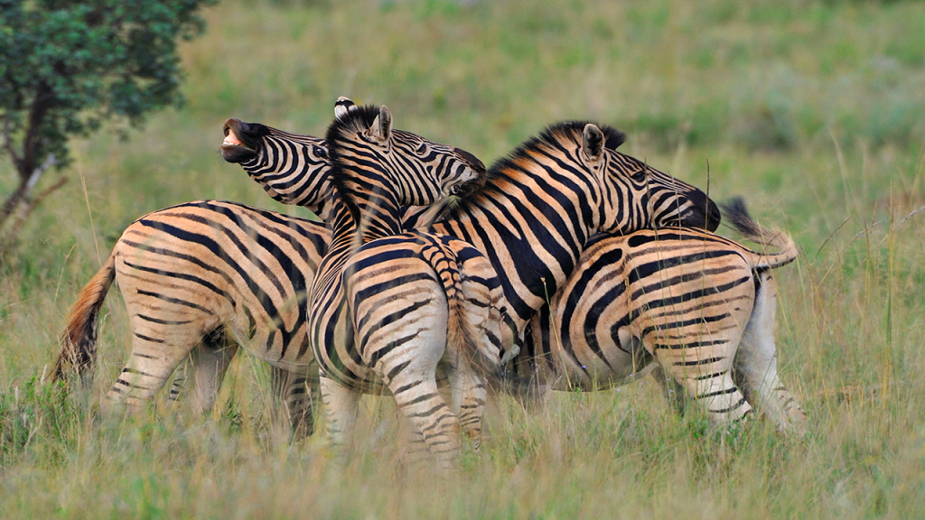 Botswana-Family-Adventure-Safari---A-Dazzel-of-Zebra
