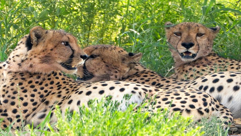 Botswana-Family-Adventure-Safari---Cheetah-in-Moremi-Game-Reserve