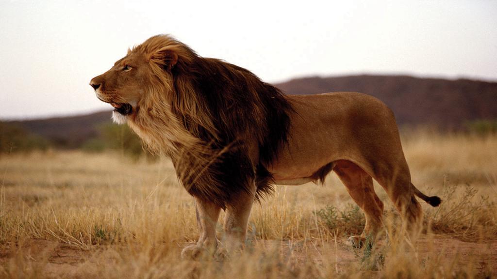 Kalahari-Luxury-Camping-Safari---Black-maned-Kalahari-Lion-King