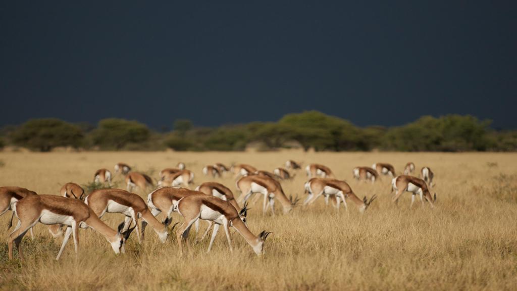 Kalahari-Luxury-Camping-Safari---Central-Kalahari-Game-Reserve-Springbok