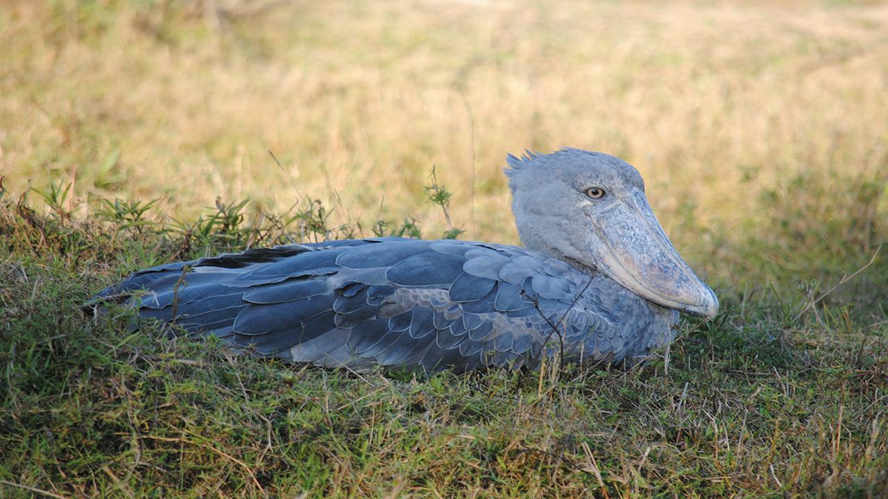 African-Shoebill-Stork---Wild-Zambia-Safari