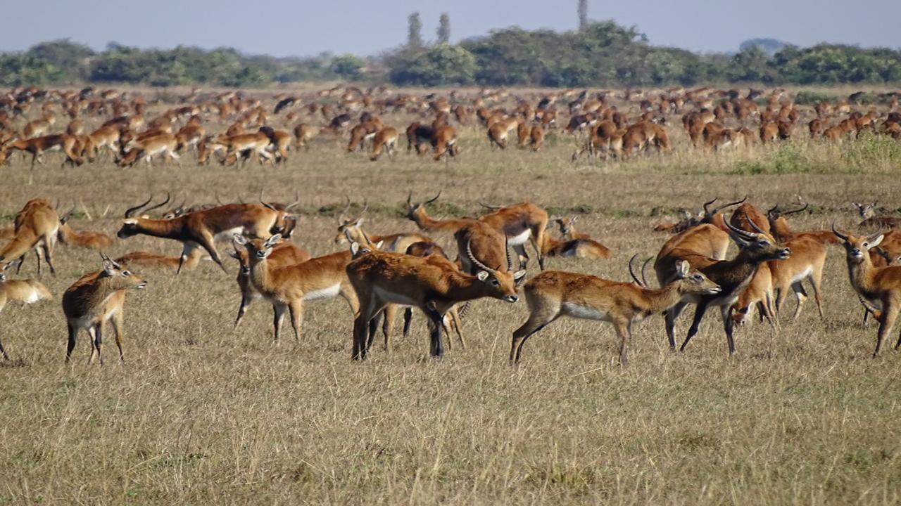 Busanka-Plains-Letchwe---Wild-Zambia-Safari